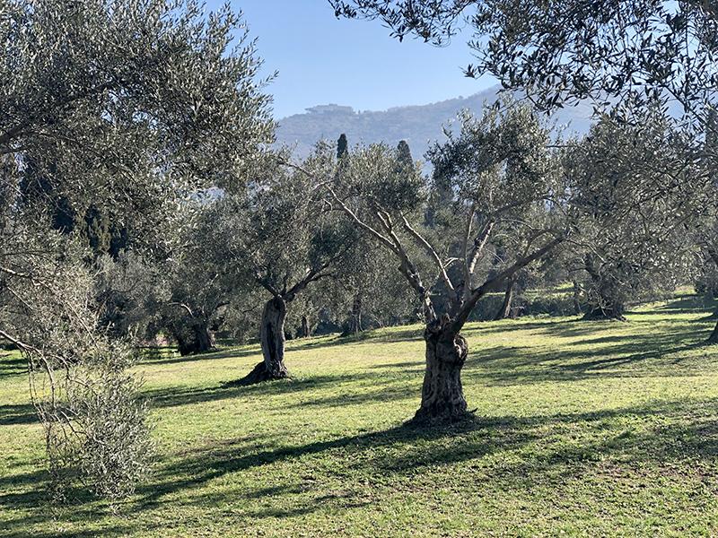Тиволи оливковые рощи