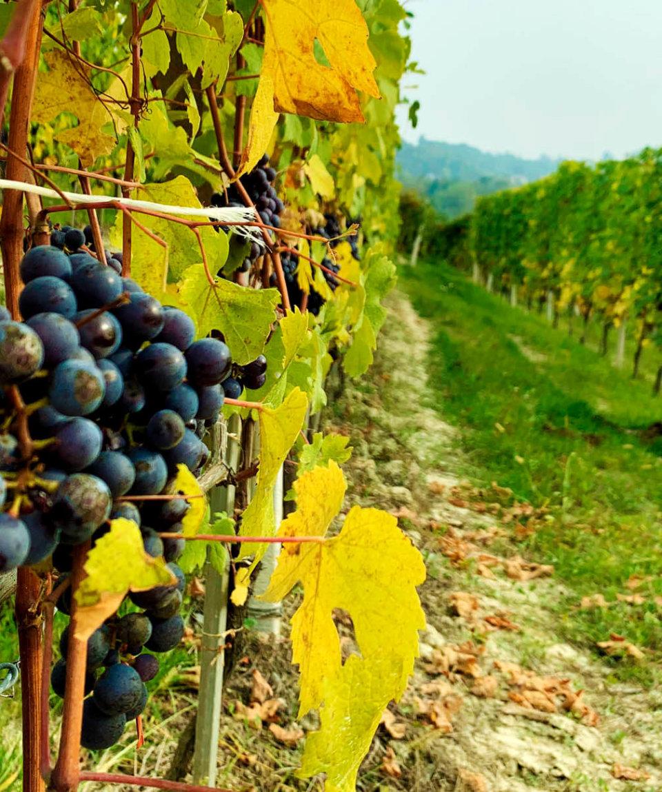 Дегустация вин в Пьемонте